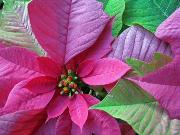 CPoinsettaC