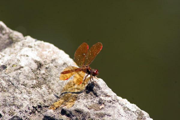 Sgrustdragonfly
