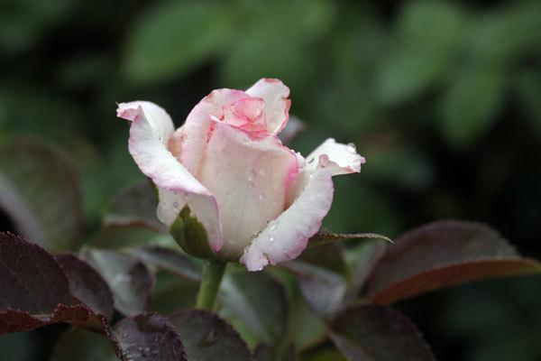 Rosebudwhitpink