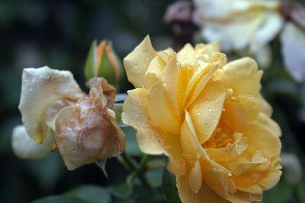 Rosesyellow3