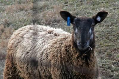 Sheepclose