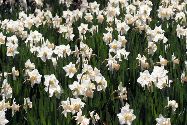 Wdaffodils